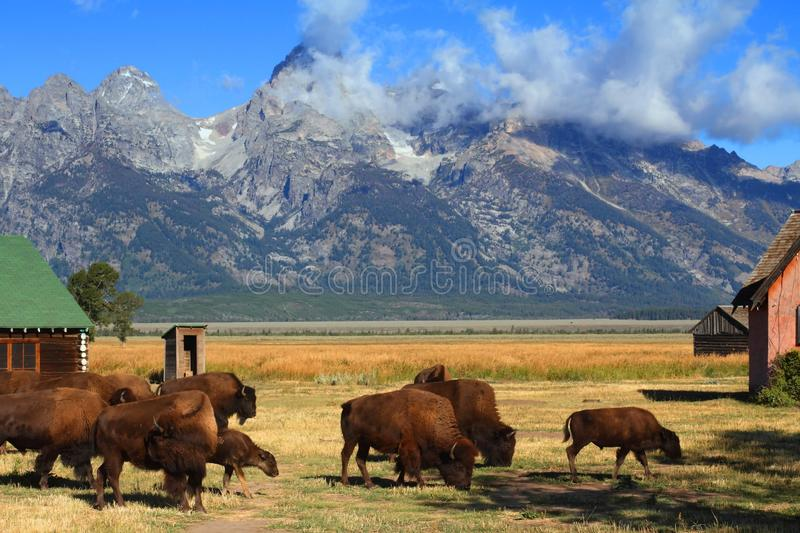 Bison and Mormon Row Barn in the Grand Tetons royalty free stock photography