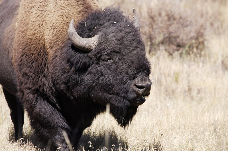 Bison nord-américain images stock
