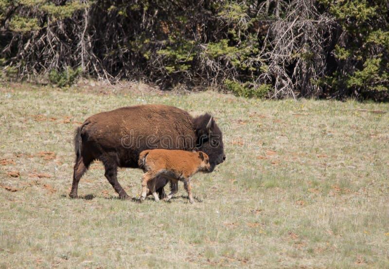 Bison och kalv royaltyfri foto