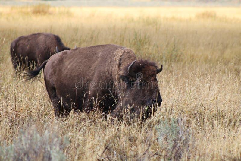 Bison på prärien arkivbilder