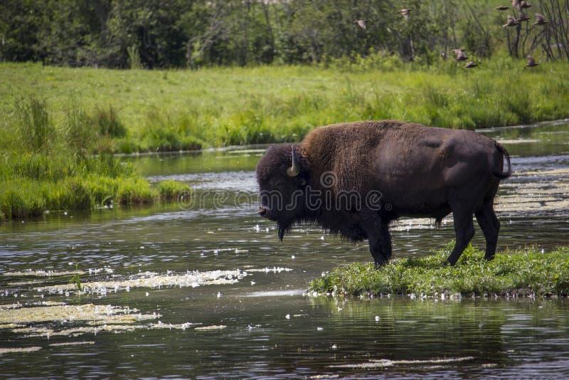 Bison par le lac photos stock