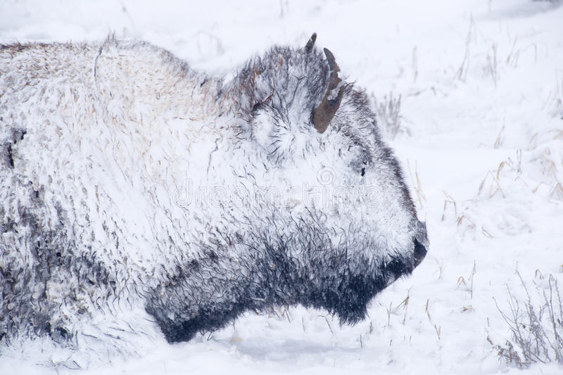 Bison Portrait in Winter Blizzard royalty free stock image