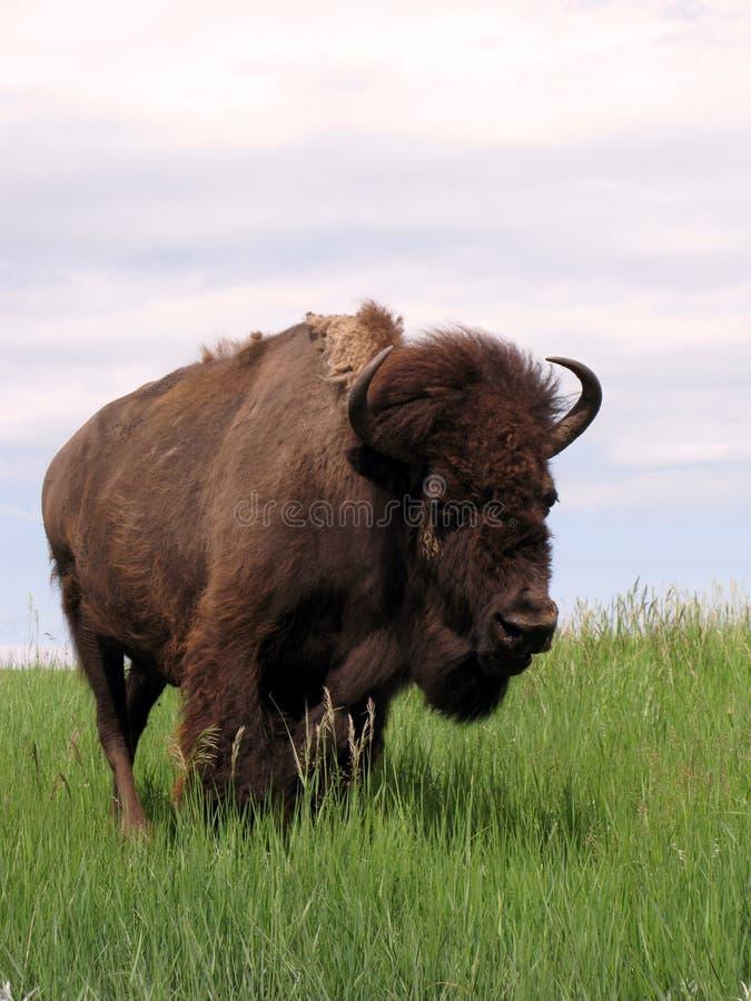 bison prairie 免版税库存图片