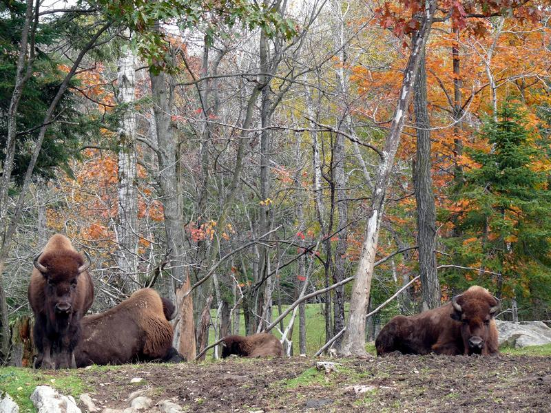Bison in Quebec. Canada, north America. Bison in Quebec. Canada north America royalty free stock photo