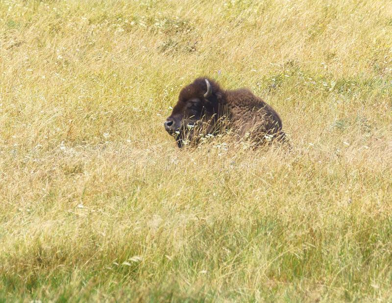 Bison Resting in the Grass stock photos