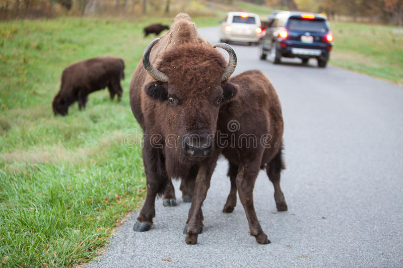 Bison in Road stock photography