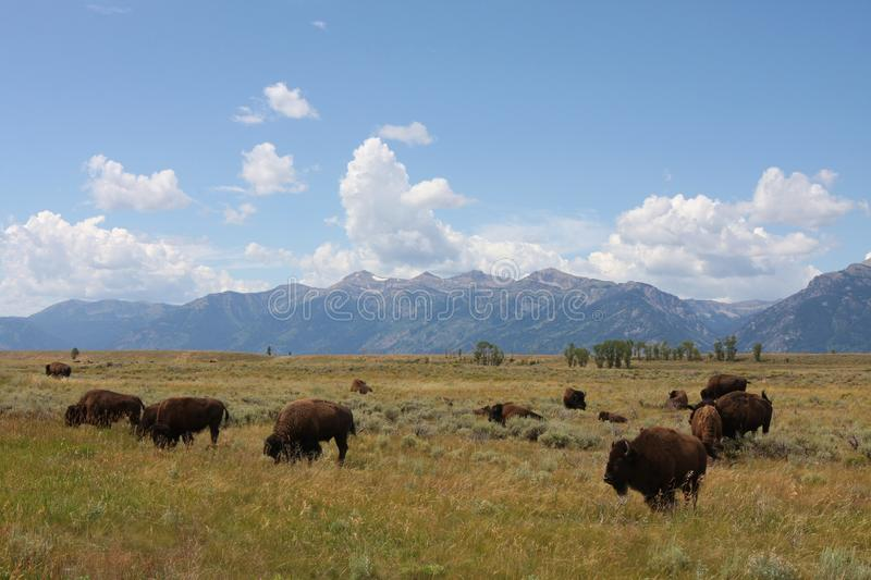 Bison Roaming the West royalty free stock photo