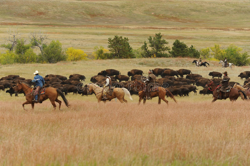 Bison Roundup. Custer State Park, South Dakota, United States - September, 27 2013: The 48th annual roundup of the State Park buffalo herd to inoculate, brand royalty free stock photos
