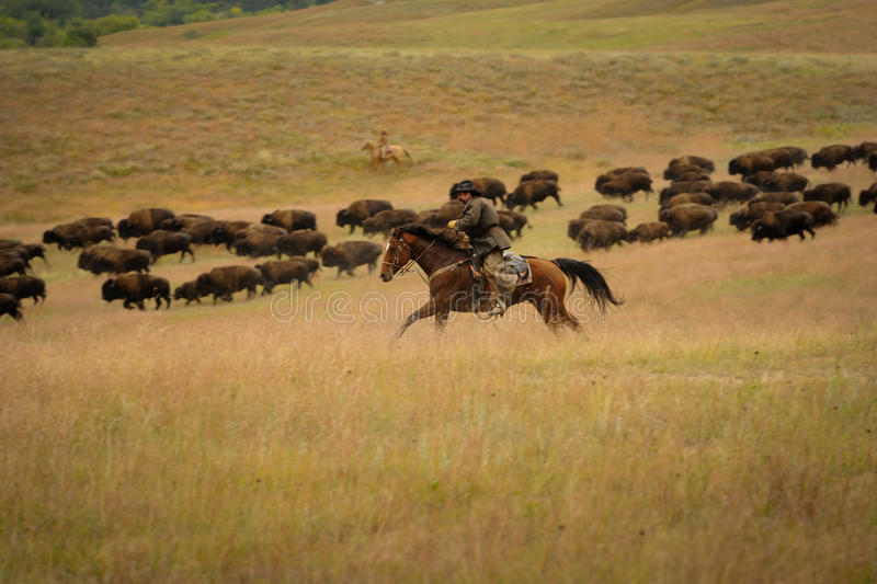 Bison Roundup. Custer State Park, South Dakota, United States - September, 27 2013: The 48th annual roundup of the State Park buffalo herd to inoculate, brand stock images