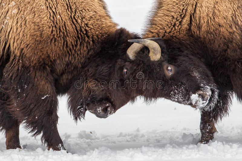 Bison Skirmish royaltyfri bild