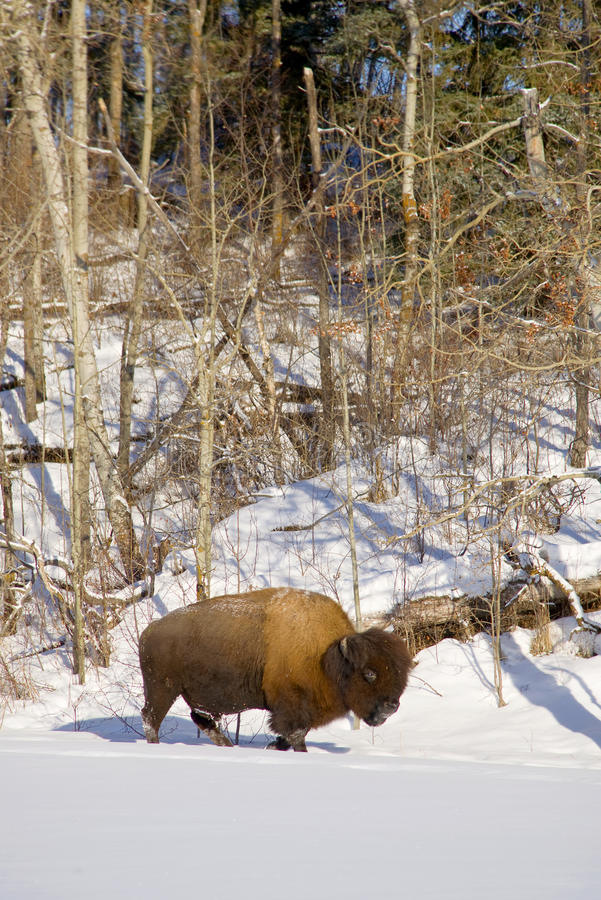 Download Bison in snow stock image. Image of chilly, bison, trees - 28850707