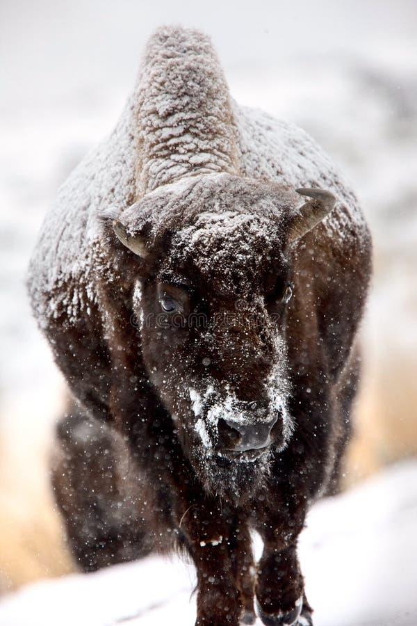 Bison Snow Storm royalty free stock photos