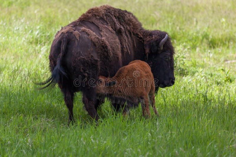 Bison soignant de bébé images libres de droits