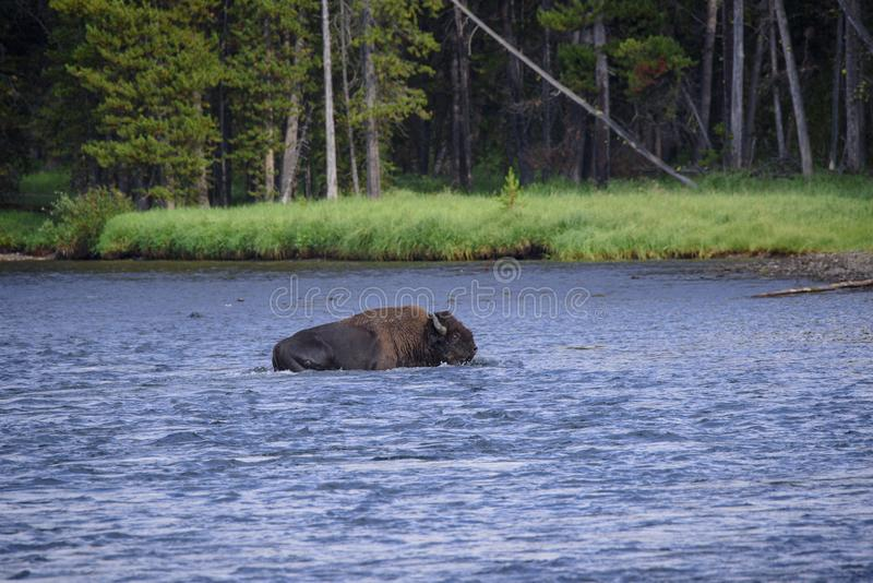 Bison som korsar Yellowstonet River royaltyfri foto