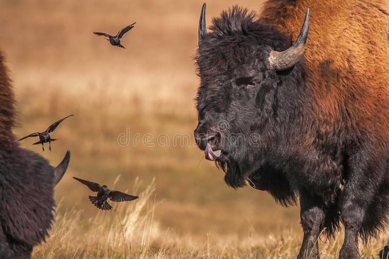 Bison som spelar med fåglar, medan slicka hans näsa royaltyfri fotografi