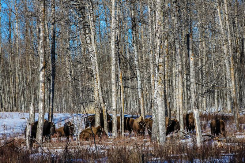 Bison in the woods, Elk Island National Park, Alberta, Canada stock photography