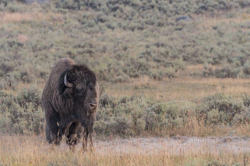 Bison Standing mit Kopien-Raum rechts stockfotos