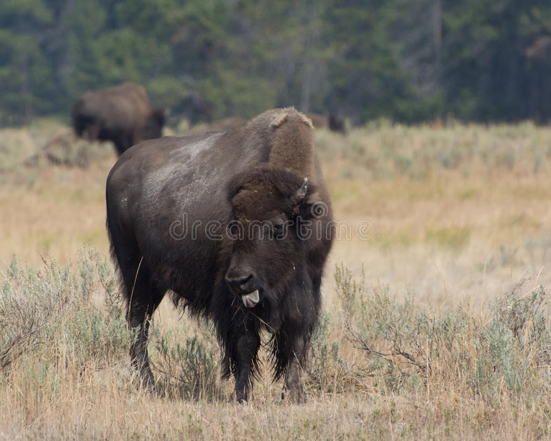 Bison Sticking Out Tongue stock images