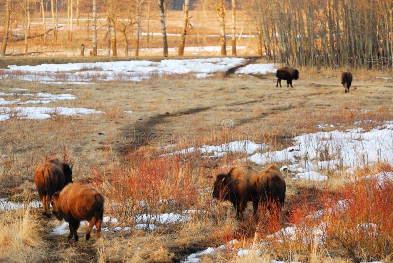 Bison sur la zone d'herbe de l'hiver image stock