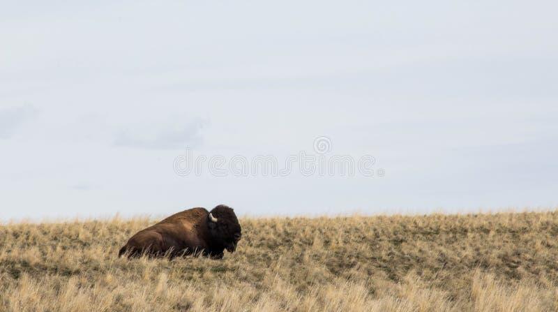 Bison sur une colline images stock