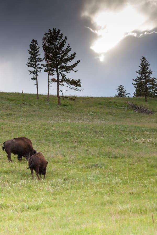 Bison sur une colline avec la tempête photos stock