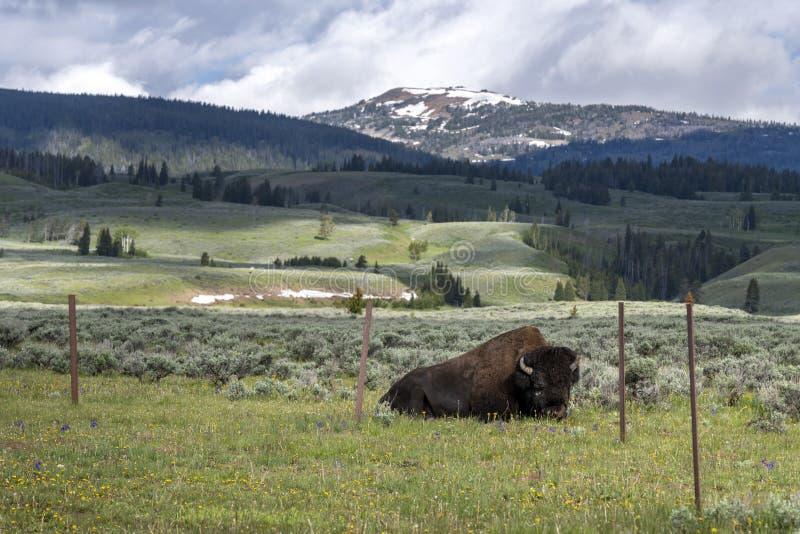Bison on Swan Lake Flat in Yellowstone National Park. Bison on Swan Lake Flat and Electric Peak in Yellowstone National Park, Wyoming, USA royalty free stock photo