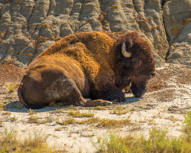 Bison Theodore Roosevelt National Park photos stock