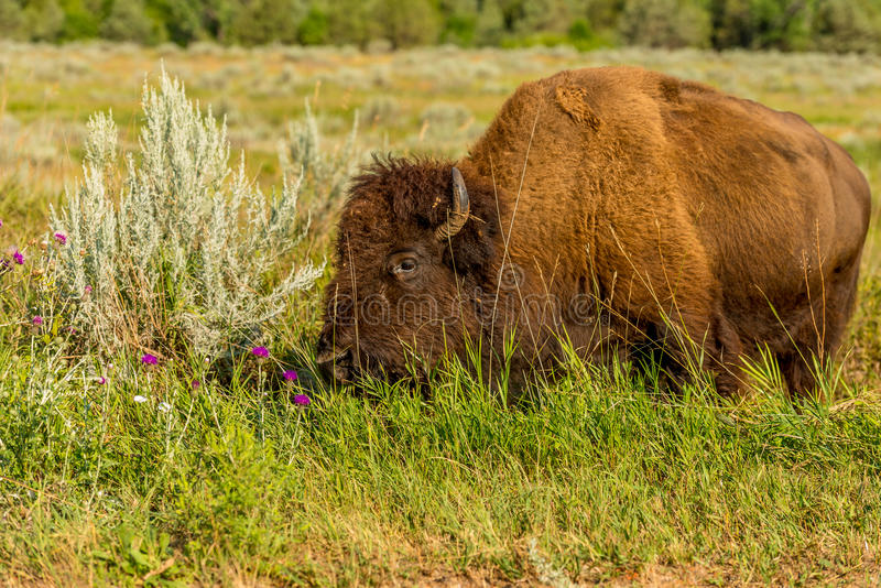 Bison Theodore Roosevelt National Park. South Unit stock images