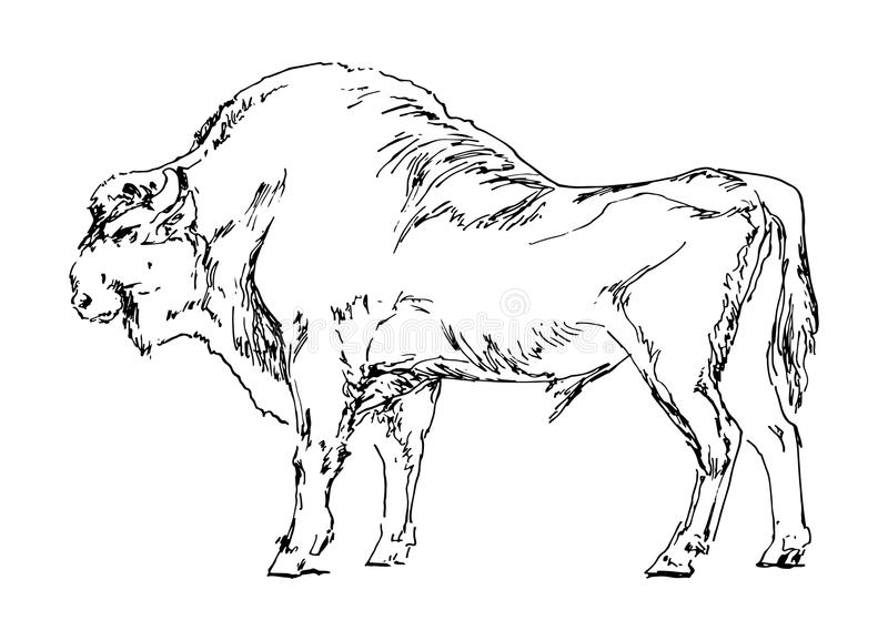 Bison tiré par la main Buffle noir sur le fond blanc Illustration de vecteur de croquis illustration stock