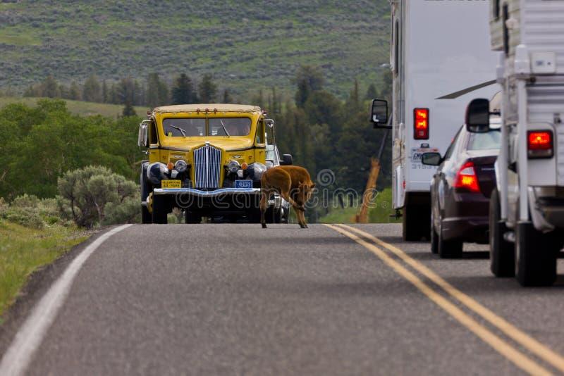 Bison Traffic Jam images libres de droits