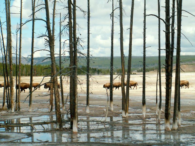 Bison Through Trees, Yellowstone Nationalpark lizenzfreies stockbild
