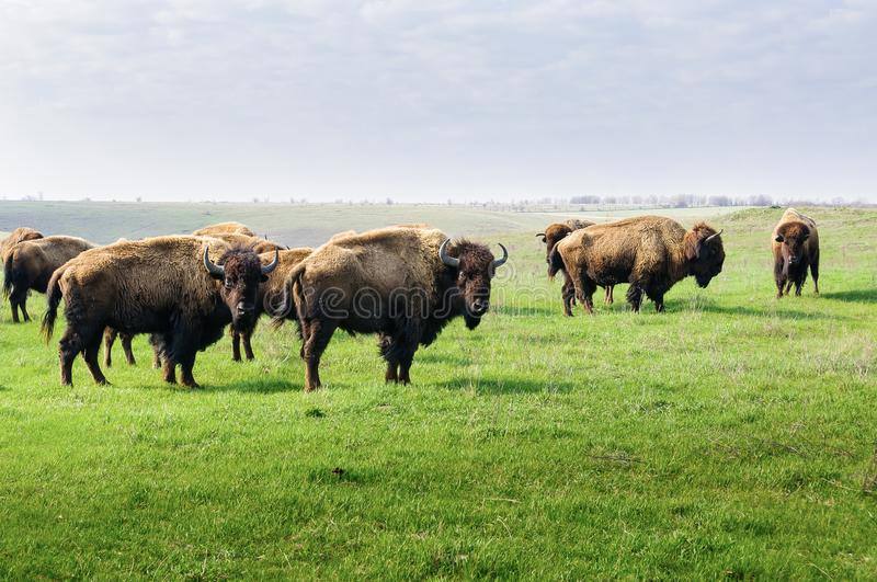 bison Troupeau de bison, frôlant pendant le matin dans la steppe photo stock