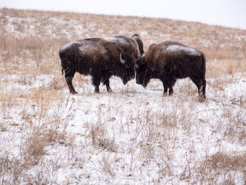 Bison Tussle in de Winter bij Custer State-park stock afbeelding