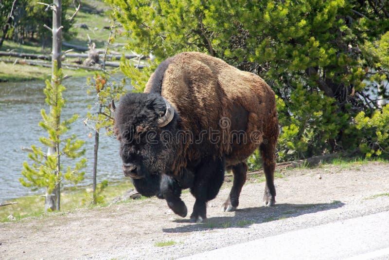 Bison Walking fotografía de archivo libre de regalías