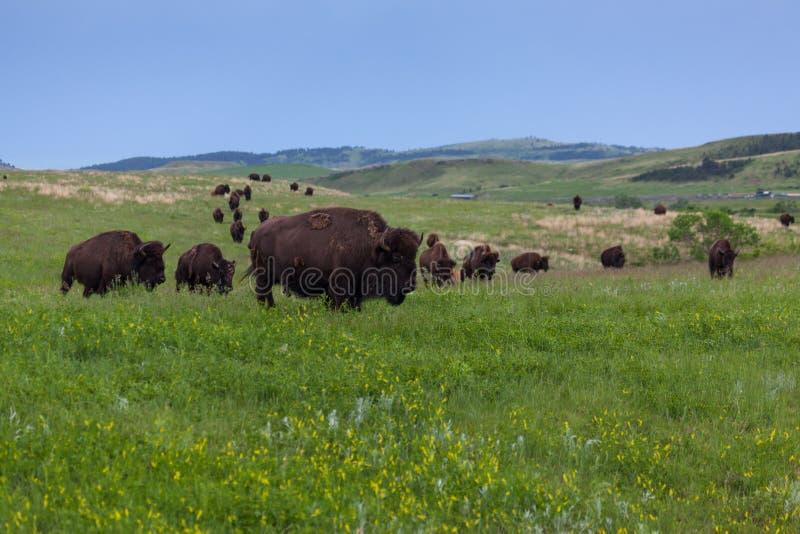 Bison Walking Across de Prairie royalty-vrije stock afbeeldingen
