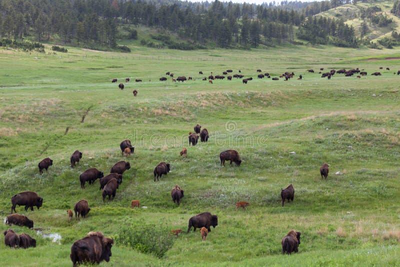 Bison Walking Across de Prairie stock fotografie
