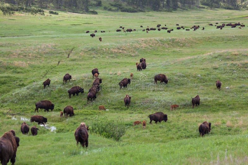 Bison Walking Across de Prairie stock foto's