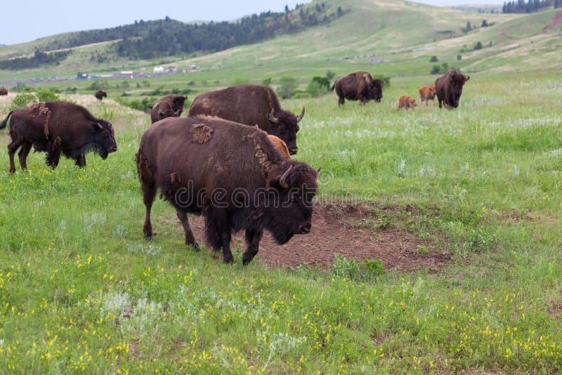 Bison Walking Across de Prairie stock afbeelding