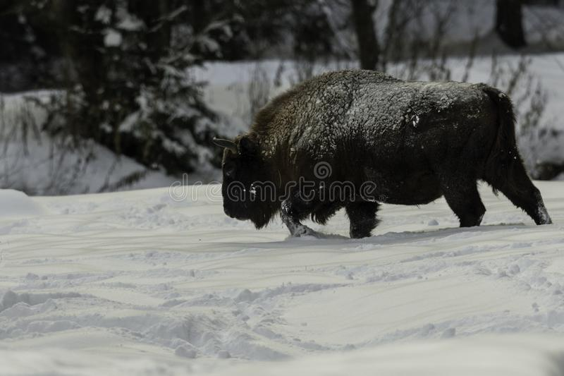 Bison walking through the snow royalty free stock photo