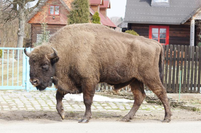Bison walking in the street of a Bialowieza Forest village. Bison walking in the street is not unusual in villages in and around Bialowieza Forest. The European stock photography