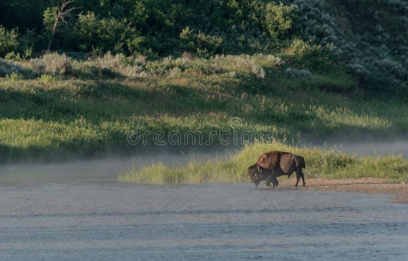 Bison Walks Across Small Island in de Rivier van Little Missouri stock afbeeldingen