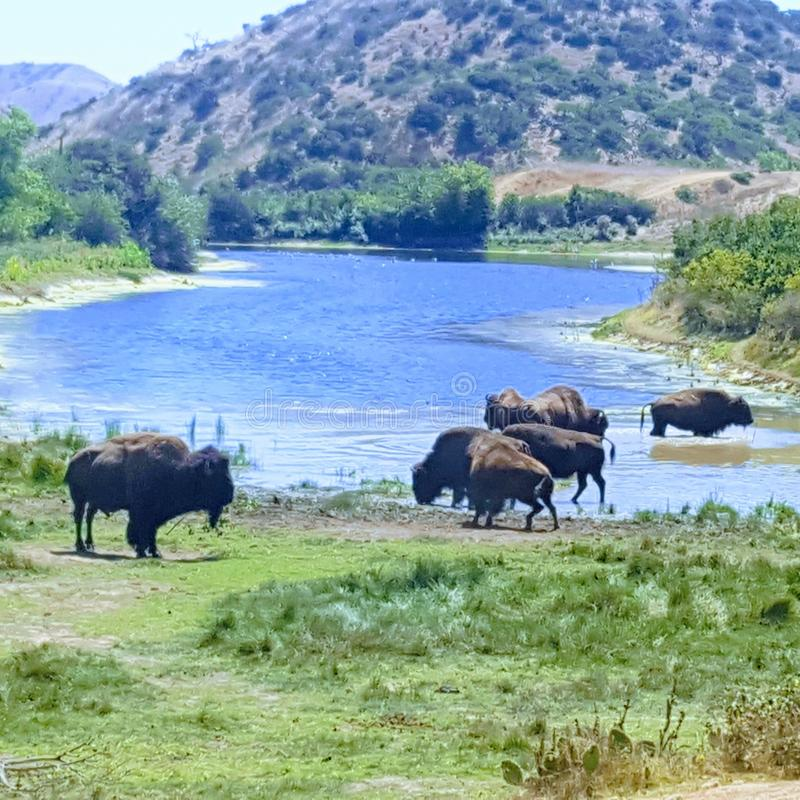Bison at the water hole stock photo