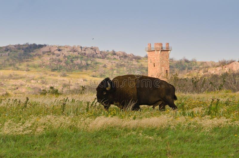 Bison Wichita Mountains, OK image libre de droits