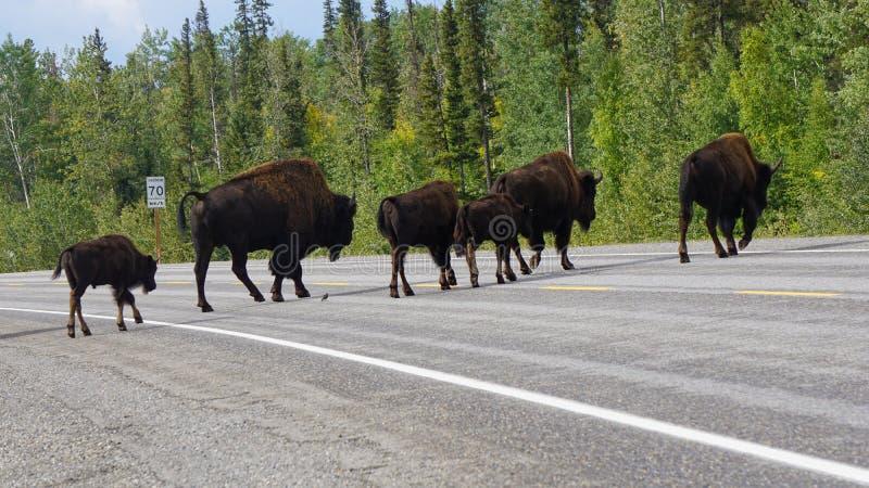 Bison Wildlife Atravessando a estrada imagens de stock royalty free
