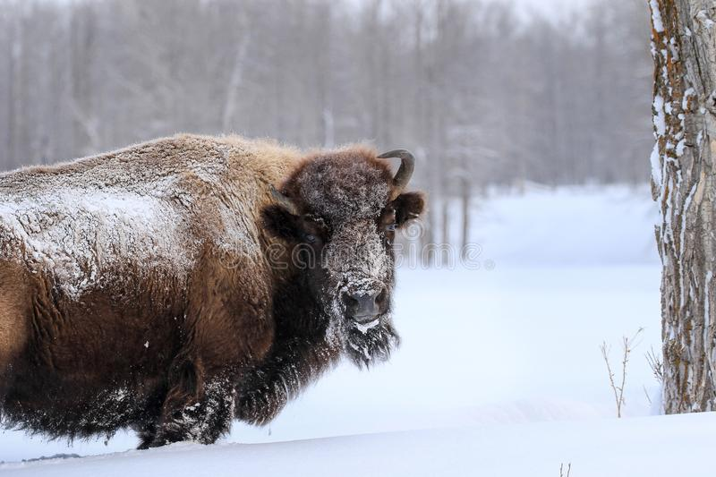 Bison in Winter royalty free stock photos