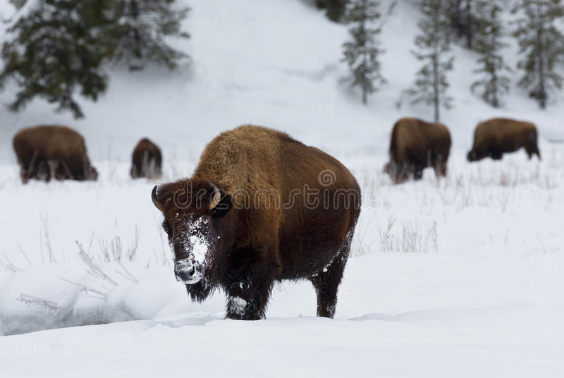 Bison, Winter, Yellowstone National Park royalty free stock photos