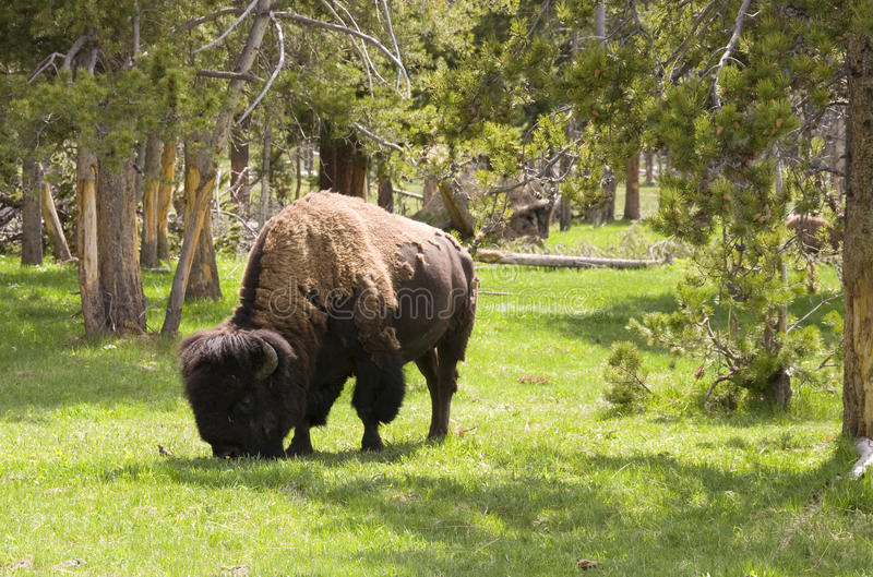 Bison in the woods royalty free stock image