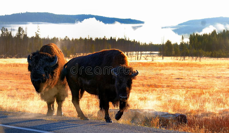 Bison, yellowstone royalty free stock images