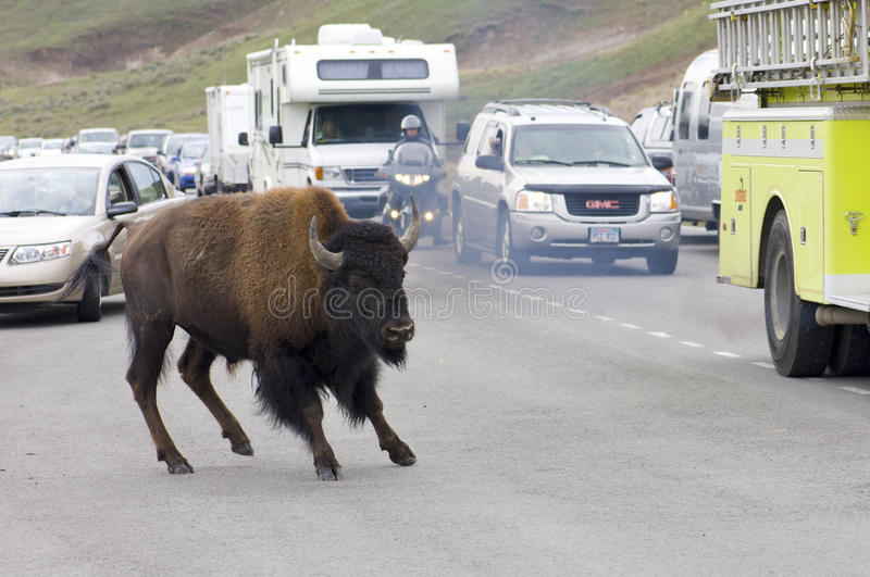 Bison In Yellowstone Editorial Stock Image