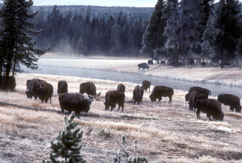 bison yellowstone image stock